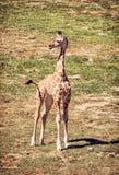 Cub жирафа ` s Rothschild, красного фильтра Стоковые Фотографии RF