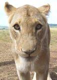 cub львев Стоковая Фотография RF