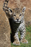cub περίεργος ιαγουάρος Στοκ Εικόνα