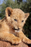 Cub. A lion cub outside in the sun Royalty Free Stock Photos
