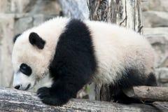 Гигантская панда Cub Стоковое фото RF