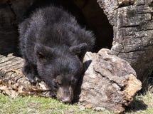 cub americano del nero dell'orso fotografie stock libere da diritti