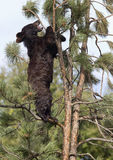 cub americano del nero dell'orso Fotografia Stock Libera da Diritti