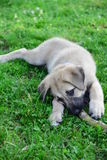 A cub of Anatolian Shepherd Dog-Kangal Royalty Free Stock Image