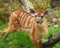 Cub of antelope sitatunga. Baby of Marshbuck standing on lush green spring grass Royalty Free Stock Images