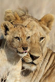 Cub babysitting del bigbrother del leone, Serengeti Immagine Stock