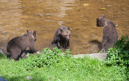 Cub Bears Skansen Park Stockholm Sweden Stock Image