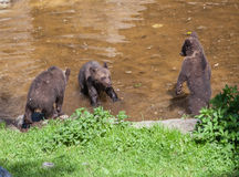 Cub Bears Skansen Park Stockholm Sweden. Three cub bears playing in the water in Skansen Park Stockholm Sweden Royalty Free Stock Photo