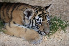 Cub of bengal tiger. A cub of the Bengal Tiger in captivity, resting royalty free stock images