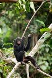The cub Bonobo stock images