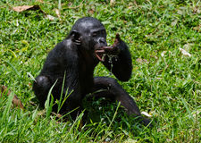 The cub  bonobo  drinks water Stock Photography