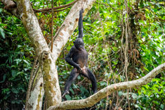 The cub of Bonobo frolics in branches of trees. Natural conditions of dwelling.The cub Bonobo on a tree branch. Chimpanzee bonobo Royalty Free Stock Photo