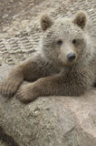 Cub of brown bear Stock Photos