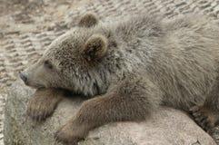 Cub of brown bear Royalty Free Stock Photo