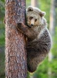 Cub of Brown bear climb on the tree. The bear cub climbing on the tree. Ursus Arctos Arctos Brown Bear Royalty Free Stock Images