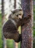 Cub of Brown bear climb on the tree. Royalty Free Stock Photography