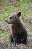Cub of a brown bear. Cub brown bear in the Finnish taiga Stock Images