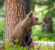 Cub of Brown bear (Ursus Arctos Arctos). In the summer forest. Natural green Background royalty free stock image