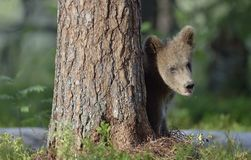 Cub of Brown bear Ursus Arctos Arctos in the summer forest. Natural green Background Royalty Free Stock Photos