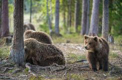 Brown Bear Cubs Royalty Free Stock Images
