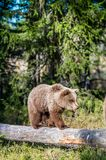 Cub of Brown bear Royalty Free Stock Photo