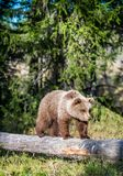 Cub of Brown bear Stock Images
