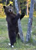 The Cub of Brown Bear Ursus Arctos. The Cub of Brown Bear Ursus Arctos standing on hinder legs in the summer forest Natural green Background stock photos