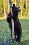 The Cub of Brown Bear Ursus Arctos standing on hinder legs. In the summer forest Natural green Background stock image