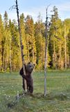 The Cub of Brown Bear Ursus Arctos standing on hinder legs in the summer forest. Natural green Background royalty free stock photography