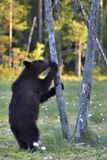 The Cub of Brown Bear Ursus Arctos. The Cub of Brown Bear Ursus Arctos standing on hinder legs in the summer forest. Forest Background stock images