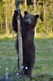 The Cub of Brown Bear Ursus Archos standing on hinder legs. The Cub of Brown Bear Ursus Arctos standing on hinder legs in the summer forest .Green forest stock photo