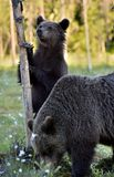 The Cub of Brown Bear Ursus Arctos standing on hinder legs. In the summer forest Natural green Background stock photo