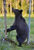 The Cub of Brown Bear Ursus Arctos standing on hinder legs. In the summer forest Natural green Background stock images