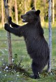 The Cub of Brown Bear (Ursus Arctos) standing on hinder legs. In the summer forest  Natural green Background Stock Image
