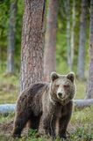 Cub of Brown Bear  Ursus Arctos  in the summer forest. Wild  Brown Bear  Ursus Arctos  in the summer forest Royalty Free Stock Image