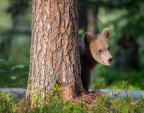 Cub of Brown bear (Ursus Arctos Arctos) Stock Images
