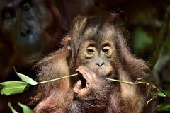 Cub of Central Bornean orangutan  Pongo pygmaeus wurmbii   in natural habitat. Wild nature in Tropical Rainforest of Borneo. Ind. Onesia Royalty Free Stock Photos