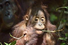 Cub of Central Bornean orangutan  Pongo pygmaeus wurmbii   in natural habitat. Wild nature in Tropical Rainforest of Borneo. Ind. Onesia Royalty Free Stock Photo