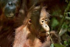 Cub of Central Bornean orangutan  Pongo pygmaeus wurmbii   in natural habitat. Wild nature in Tropical Rainforest of Borneo. Ind. Onesia Stock Photography