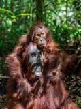 Cub of Central Bornean orangutan  ( Pongo pygmaeus wurmbii ) swinging on the tree  in natural habitat. A female of the orangutan with a cub in a natural habitat Royalty Free Stock Photography