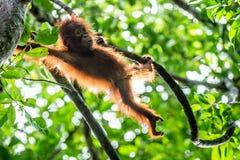 Cub of Central Bornean orangutan  ( Pongo pygmaeus wurmbii ) swinging on the  tree  in natural habitat. Wild nature in Tropical  Rainforest of Borneo Stock Photo