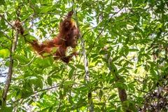 Cub of Central Bornean orangutan  ( Pongo pygmaeus wurmbii ) swinging on the tree  in natural habitat. Stock Photos