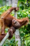 Cub of Central Bornean orangutan  ( Pongo pygmaeus wurmbii ) swinging on the tree  in natural habitat. Stock Images