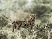 Cub cheetah in Serengeti National Park Stock Images
