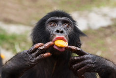 Cub of a Chimpanzee bonobo Royalty Free Stock Photos