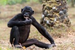 Cub of a Chimpanzee bonobo Stock Photos