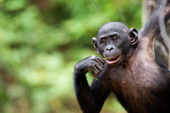 Cub of a Chimpanzee bonobo Royalty Free Stock Images