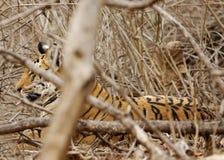 Cub of Collarwali Tigress hiding behind lantana habitat Stock Images
