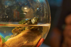 Cub Colombian red-eared sliders . Royalty Free Stock Photography