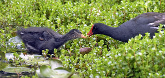 Cub of common gallinule next to his mother Royalty Free Stock Photos
